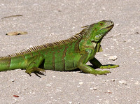 GreenIguana-SDIM3193-crop